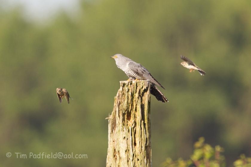 cuckoo may-021