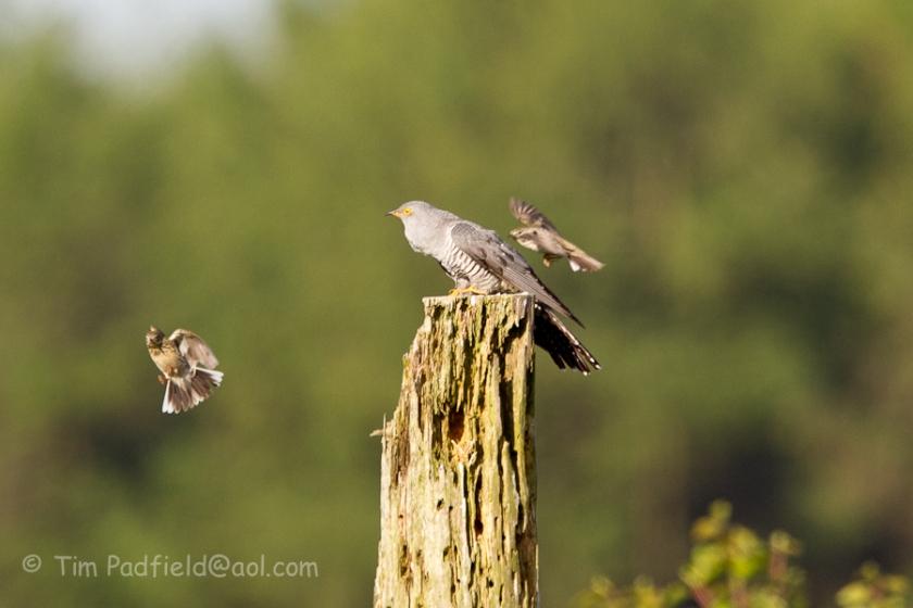 cuckoo may-022
