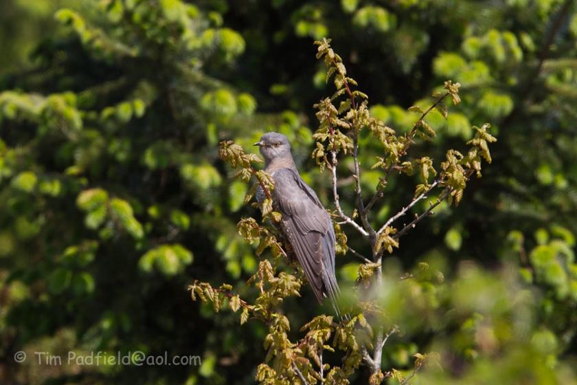 Cuckoo2-7
