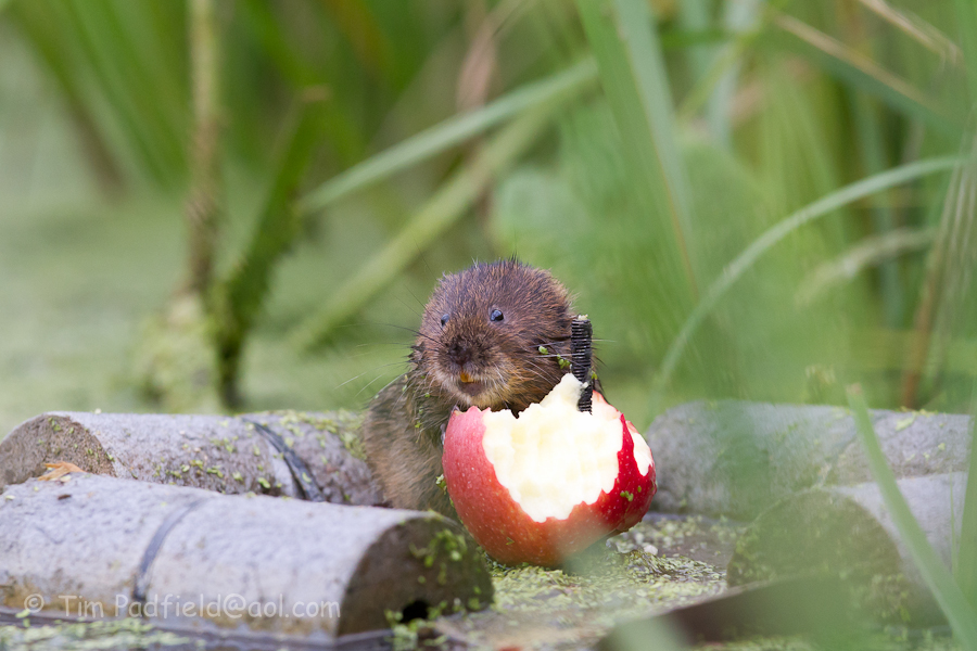 Water Voles love apples