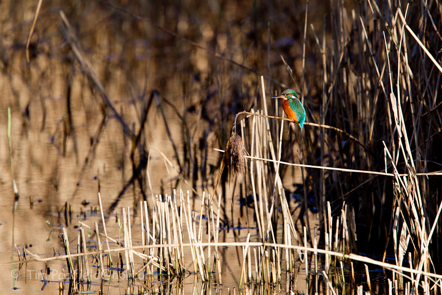 Fforest farm kingfishers-025
