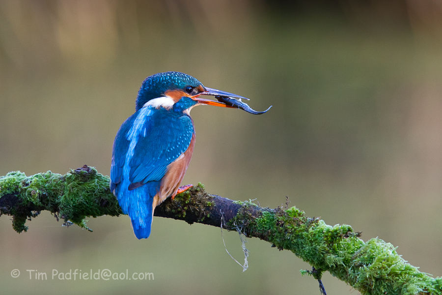 Fforest farm kingfishers-030