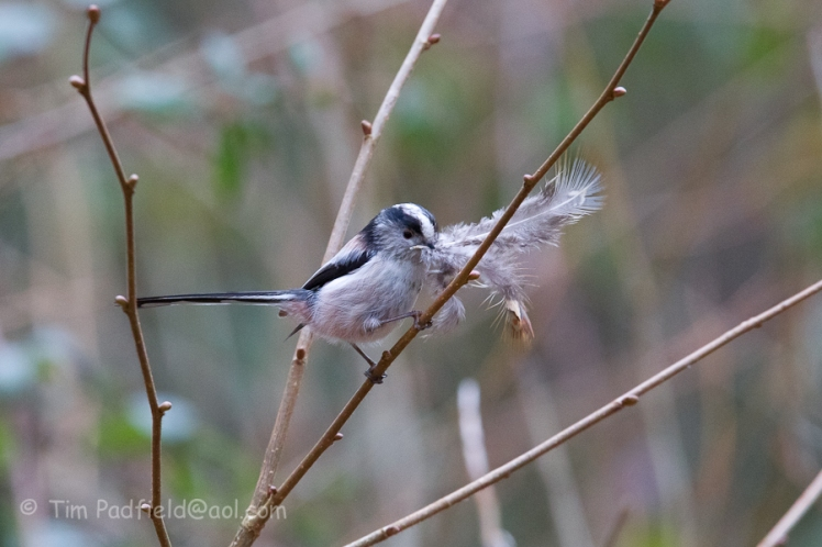 Long Tailed Tit on a mission