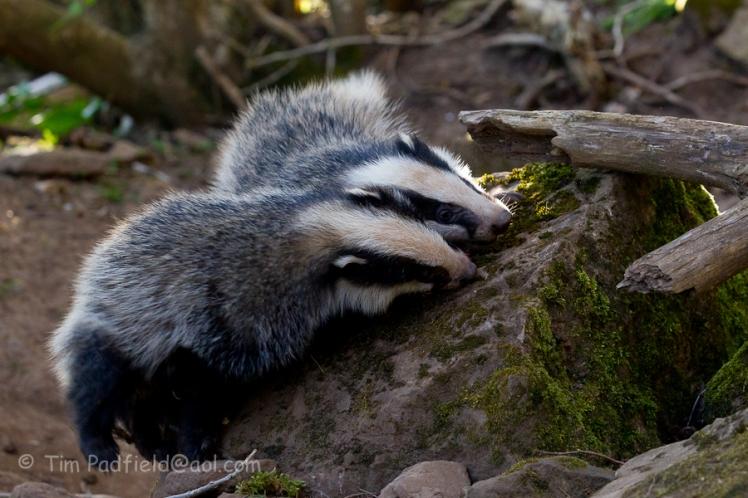 badgers darr apr 28-005