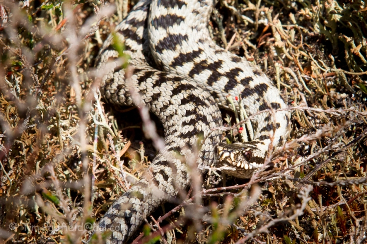 Light coloured Adder