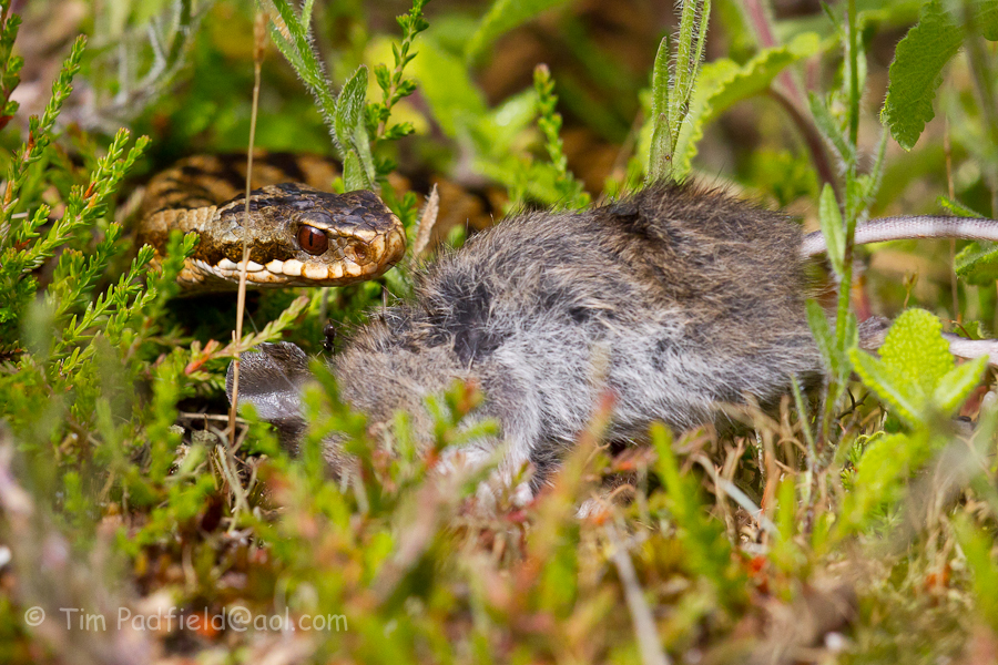 adder mouse-029