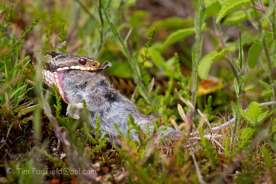 adder mouse-054