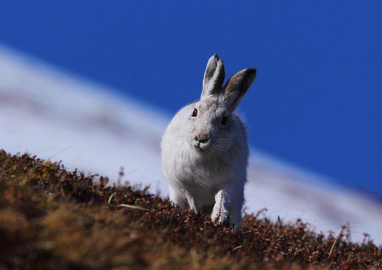 Hare Running