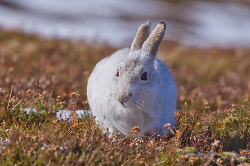 Scotland Hares-074