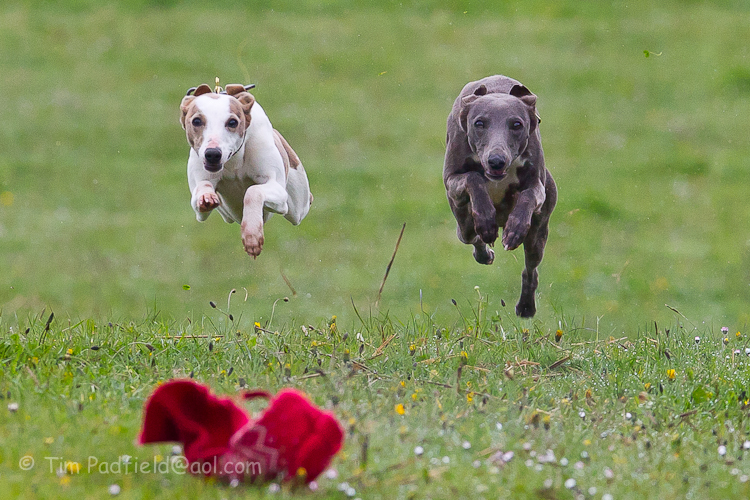 whippet race 2